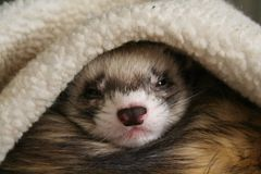 Sleeping Ferret. Waking up to the world royalty free stock photos