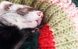 Sleeping ferret Royalty Free Stock Photography
