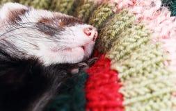 Sleeping ferret Royalty Free Stock Photography
