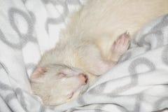Sleeping ferret Royalty Free Stock Images