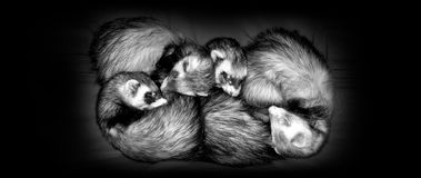Sleeping Ferrets. Four small ferrets, 2 male and 2 female, sleeping together.  Perfect examples of Sable coats/coloring.  The domestic ferret is classified as Royalty Free Stock Photo