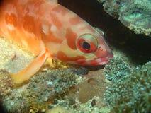 Sleeping Fish. Sleeping Squrel Fish on Coral Reef,Indonesia Stock Photos