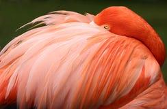 Sleeping flamingo. Flamongo sleeping looking tropical bird feather pink orange Stock Image