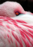 Sleeping Flamingo Stock Photo