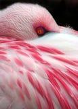 Sleeping Flamingo Stock Photo