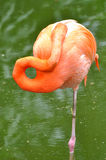 A sleeping flamingo bird Stock Image