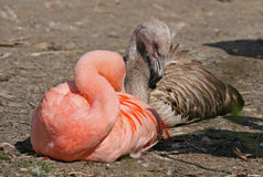 Sleeping flamingo Royalty Free Stock Photography