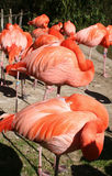 Sleeping Flamingoes. Flock of pink flamingos sleeping with heads tucked in thier feathers Stock Images