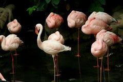 Free SLeeping Flamingoes Royalty Free Stock Photo - 5506515