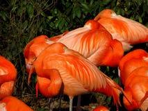 Sleeping flamingoes Royalty Free Stock Images