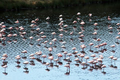 Sleeping flamingos Stock Photos