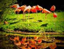 Sleeping Flamingos. Grassy land pond Royalty Free Stock Photography