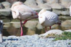 Sleeping Flamingos Royalty Free Stock Photos