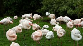 Sleeping flamingos standing on one leg Stock Images