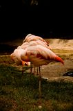 Sleeping Flamingos Stock Photography