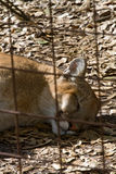 Sleeping Florida Panther. Florida panther laying down sleeping behind bars Stock Photo