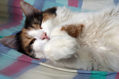 Sleeping fluffy cat Stock Image