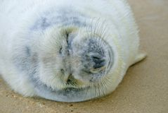 Sleeping fluffy grey seal pup. Oblivious to the camera this grey seal pup was having a good sleep on the beach stock image