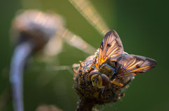 Sleeping fly in the sun. The sun beautiful illuminates wings of sleeping fly Royalty Free Stock Photo