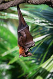 Sleeping flying fox hanging upside down Royalty Free Stock Images