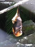 Sleeping flying fox. In La Vanille Reserve, Mauritius Royalty Free Stock Photo
