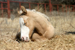 Sleeping Foal. Palomino filly foal, 2 weeks old, sleeping in winter sunshine in pile of straw in pasture with red pipe fence in background, resting head on leg Stock Image
