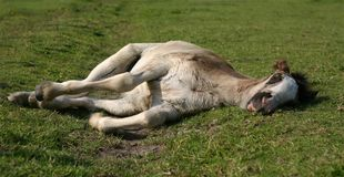 Sleeping foal Stock Photo