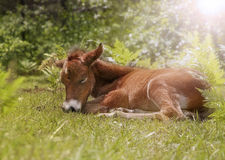 Sleeping foal in backlight. Newborn wildhorse foal sleeping in the grass in backlight Stock Photo