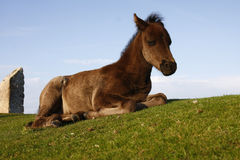 Sleeping Foal beside Haytor carpark Royalty Free Stock Photos