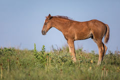 Sleeping foal in a meadow Stock Images