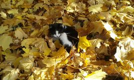 Sleeping in the foliage black and white cat. Royalty Free Stock Image