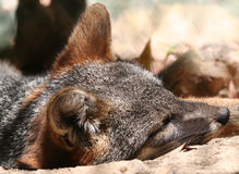 Sleeping Fox Royalty Free Stock Images