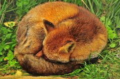 Sleeping Fox. A fox curled in a tight ball sleeping in a field Royalty Free Stock Photos
