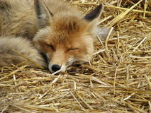 Sleeping fox Stock Image