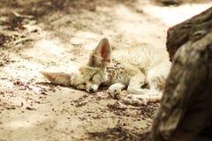Sleeping fox Stock Photo