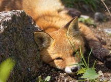 Sleeping fox Royalty Free Stock Photos