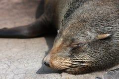 Sleeping fur seal Stock Photos