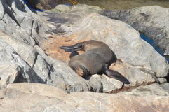Sleeping Fur Seal stock images