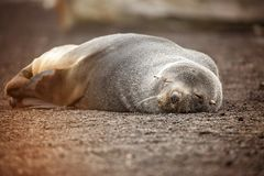 A sleeping fur seal in Antarctica Royalty Free Stock Photography