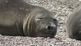 Sleeping fur seal close-up stock footage