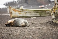 A sleeping fur seal Stock Photography