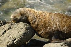 Sleeping Fur Seal Stock Image