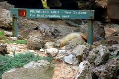 Sleeping fur-seal, Kangaroo Island, Australia Stock Image
