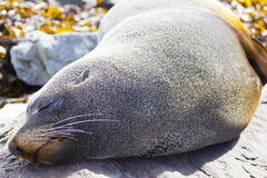 Sleeping fur seal Royalty Free Stock Photos
