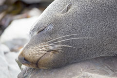 Sleeping fur seal Stock Image