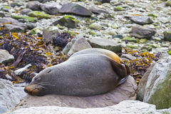 Sleeping fur seal Stock Images