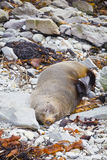 Sleeping fur seal Royalty Free Stock Images