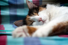 Sleeping furry cat. Asleep furry cat  taking a well deserved nap Royalty Free Stock Images