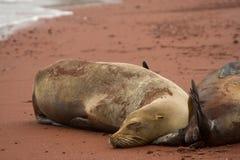Sleeping Galapagos sea lion Royalty Free Stock Photo