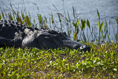 Sleeping Gator Head Stock Photo